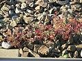 20160927Geranium robertianum1.jpg