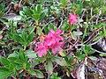2017-07-22 (16) Rhododendron hirsutum (Hairy Alpenrose) at Dürrenstein (Ybbstaler Alpen).jpg
