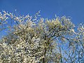 20190320 Prunus cerasifera 04.jpg