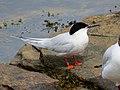 2020-07-18 Sterna dougallii, St Marys Island, Northumberland 10.jpg
