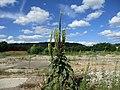 20210729Verbascum thapsus2.jpg