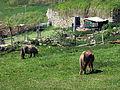 276 Cavalls al peu del turó del Castell (Camprodon).JPG