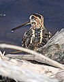 334 - WILSON'S SNIPE (4-7-2015) pena blanca lake, santa cxruz co, az (16904781038).jpg