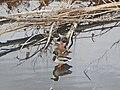 3 ducks, Prato.jpg