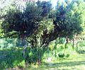 5 Gymnosporia heterophylla - Newlands Cape Town.jpg