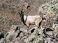 6 Bezoar Goat.jpg