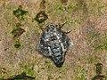 70.105 BF1800 Northern Winter Moth, Operophtera fagata, female (4085711551).jpg