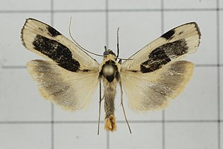 <i>Thysanoptyx incurvata</i> species of insect