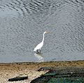 A Heron on Blue Heron Pond! (2851250767).jpg