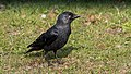 A Western jackdaw resting at taxiway Q (33552339856).jpg