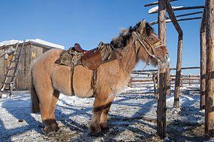 Yakutian horse - A Yakutian horse