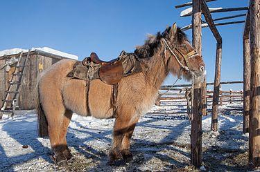 Якутская лошадь в Оймяконе