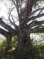 A big tree, gorkha2.jpg