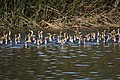 A lot of cormorants (11160175256).jpg