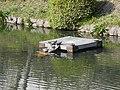 A meeting of turtles (27155657269).jpg