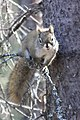 A red squirrel perched in a spruce tree (28ed7907-2917-4749-b112-617432fd2e7c).jpg