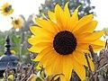 A wild Yellow flower along the roadside.jpg