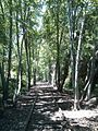 Abandoned Railroad closely framed in tall trees - panoramio.jpg