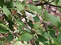 Abelia spathulata ツクバネウツギ 衝羽根空木 やしろの森公園DSCF8775.JPG