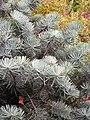 Abies concolor 'Compacta' Jodła jednobarwna 2009-07-20 01.jpg