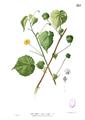 Abutilon indicum Blanco2.557.png