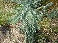 Acacia dealbata (5365632758).jpg