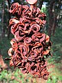 Acacia mangium seed pods at Peravoor (3).jpg