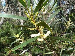Acacia obtusifolia 1