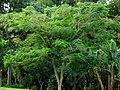Acacia roja - Flamboyán (Delonix regia) (14298826893).jpg