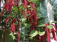 Acalypha hidpida a1.jpg