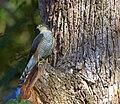 Accipiter erythronemius Horto Florestal de Sao Paulo, Brazil 2.jpg