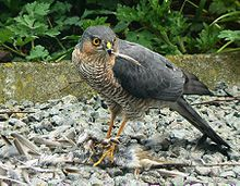 A sparrowhawk plucking a small bird