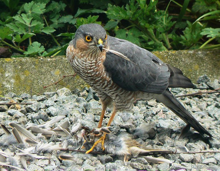http://upload.wikimedia.org/wikipedia/commons/thumb/7/75/Accipiter_nisus_kill.jpg/771px-Accipiter_nisus_kill.jpg