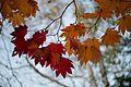 Acer japonicum - Flickr - odako1 (2).jpg