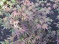 Acer palmatum 'Bloodgood' 01.jpg
