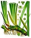 Acorus calamus - Köhler–s Medizinal-Pflanzen-006.jpg
