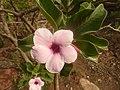 Adenium boehmianum, blom en loof, Elandsfontein, a.jpg