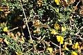 Adenocarpus telonensis 2.jpg