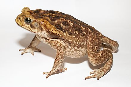 Cane toad (Rhinella marina) with poison glands behind the eyes Adult Cane toad.jpg