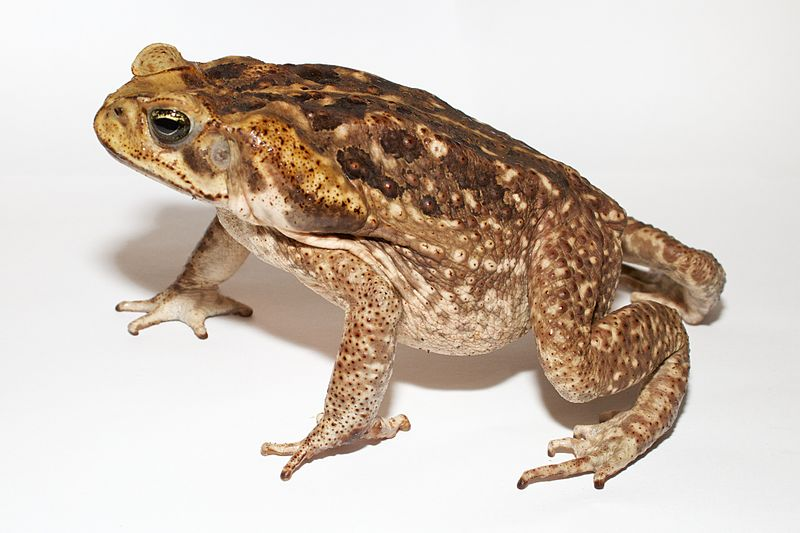 File:Adult Cane toad.jpg