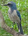 Adult Florida scrub jay