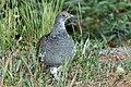 Adult Male Dusky Grouse.jpg