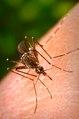 Aedes aegypti CDC9179.tif