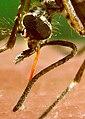 Aedes aegypti bloodfeeding detail proboscis CDC Gathany.jpg