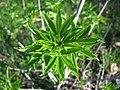Aesculus californica-2.jpg