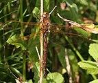 Aeshna grandis Gwas y neidr brown.jpg