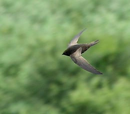 African Black Swift (Apus barbatus) in flight, above and side view