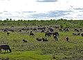 African Buffaloes (Syncerus caffer) (11567407303).jpg