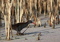 African Rail, Rallus caerulescens at Marievale Nature Reserve, Gauteng, South Africa (21061161718).jpg