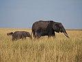 African elephant (20438423104).jpg